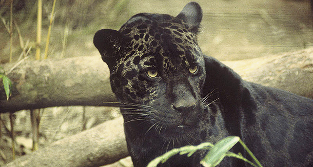 610 Black_jaguar